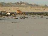 So schlagen sich diese armen Hunde durch, indem sie die Reste des armen kleinen Delfins und anderes verwerten.